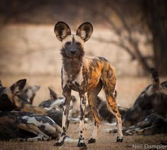 Wild dogs, South-Africa by Neil Dampier - Africa Geographic