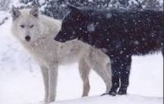 I am going to introduce u to my pack first off this is me and my mate Liekos