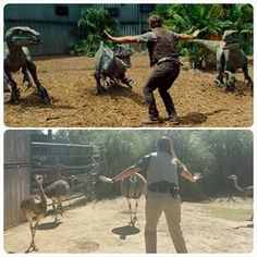 These beautiful rheas are loving it as well. | Zoo Staff Have Turned Chris Pratt's Raptor Pose Into An Epic Meme