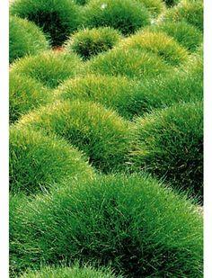 blauregen auf stamm 1 pflanze g rten pflanzen und. Black Bedroom Furniture Sets. Home Design Ideas