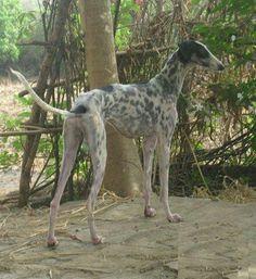 Indian hound