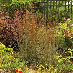 Little Bluestem 'The Blues' ornamental grass, 4 by 2
