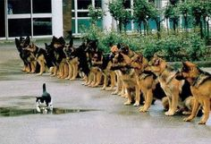 That's a brave cat teasing those police dogs, but just look at the restraint!
