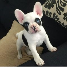 baby blue eyed french bulldog