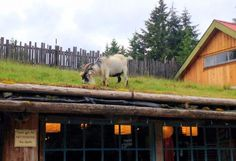 Old Country Market Coombs Goats on the Fricken Roof Vancouver Island British Columbia