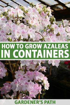 If you love the bright, elegant blossoms of azaleas but don't have room in your garden, why not try growing them in containers instead? You can even bring the luxurious bursts of color to your porch, patio, or deck. Learn how to grow azaleas in pots now on Gardener's Path. #azalea #containergarden #gardenerspath Gardening For Beginners, Gardening Tips, Flower Gardening, Indoor Gardening, Budget Flowers, Home Flowers, Flowering Shrubs, Growing Flowers, Flower Seeds