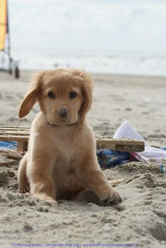 Sandy Nose - Boef's first time on the beach by Bernard Schep, Flickr | Golden Retriever pup.