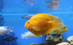 Golden Fish Undersea wallpaperia.com