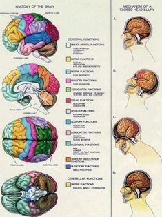 Anatomy of the Brain. Mechanism of a Closed Head Injury. Post Concussion Syndrome, Brain Science, Life Science, Computer Science, Head Injury, Traumatic Brain Injury, Anatomy And Physiology, Human Brain Anatomy, Brain Health