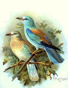 Rollier d'Europe - European Roller!  This image comes from the book Naumann, Naturgeschichte der Vögel Mitteleuropas (Natural history of the birds of central Europe) of 1905 or his earlier works.