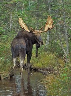 Bull Moose in Rocky Mountain National Park Moose Deer, Moose Hunting, Bull Moose, Pheasant Hunting, Turkey Hunting, Archery Hunting, Moose Pictures, Deer Photos, Animal Pictures