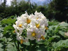 Flor de batatas da horta da minha amiga Carlota Hursey em Indiana- EUA.