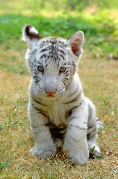 Baby white tiger - I love big cats and I can not lie! The Animals, Nature Animals, Cute Baby Animals, Funny Animals, Wild Animals, Funny Cats, Baby White Tiger, White Tiger Cubs, White Tigers
