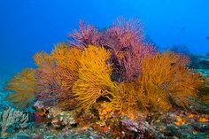 Sea fan cluster on deep sea mount in the Sea of Cortez, Canon 5D with Sigma 20mm f1.8 and one Ikelite DS160 strobe