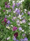 Arvejillas: se obtienen plantas vigorosas