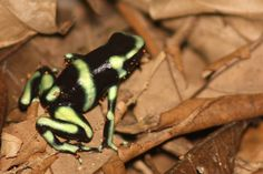 Green and black poison dart frog - Wikipedia, the free encyclopedia