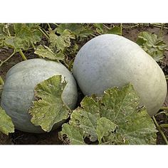 """DOVLEAC """"DE PLOVDIV"""" Tomato Seeds, Organic Vegetables, Flower Seeds, Harvest, Pumpkin, Fruit, Plants, Color, Number"""