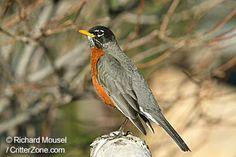 trendy Ideas for robin bird michigan spring Michigan Travel, State Of Michigan, Bird Feeder Craft, Bird Feeders, Bird Tattoo Sleeves, Connecticut Usa, Bird People, American Robin, State Birds