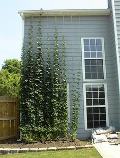 Brews & Views Bulletin Board Service: Advise on Hops Growing