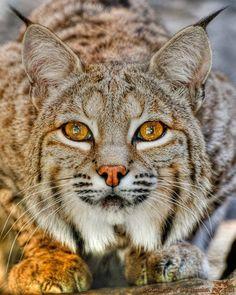 Lynx. Amber eyes.