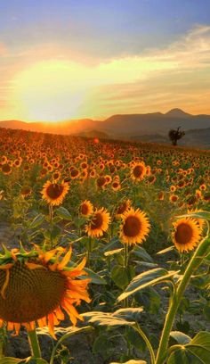 Parolito, Marche, Italy  Sunflowers are God's smile!