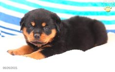 Rottweiler Puppy for Sale in Pennsylvania
