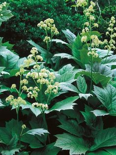 Rodgersias are extremely handsome plants primarily grown for their foliage. The woodland plants perform well in water gardens and shade gardens. Other plants that thrive at the edge of a shady pond include giant rhubarb (Gunnera manicata),sedge (Carex) and rush (Juncus effusus), which can tolerate standing water.