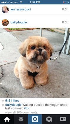 If I get a shih tzu puppy someday, I want it to have this haircut!