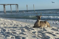 Only on the beautiful Emerald Coast...North Florida Emerald Coast Deer Beach florida christmas santa beach