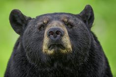 I photographed this black bear at Parc Omega, Montebello, Quebec Canada with a Nikon D3s and a Nikon 200-400 mm lens.