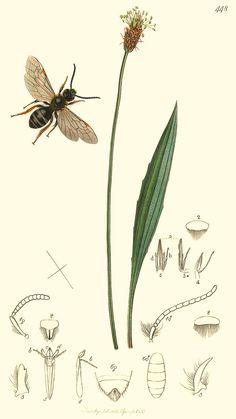 Plantago lanceolata (B. Ent.) bent