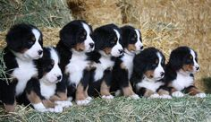 Bernese Mountain Pups