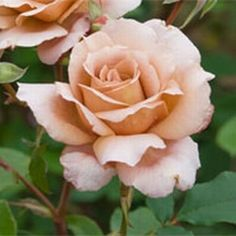 ~Julia's Rose~  Category	Bush Roses  	(Hybrid Tea Roses) Bred By	Wisbech Colour	Buff / copper Flower Type	Double/Full Bloom Size	 Medium Bush ...