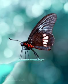 Parides aglaope by Blackdiamond67 #nature #photooftheday #amazing #picoftheday