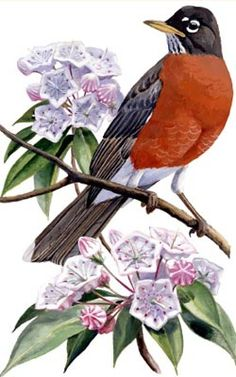 Connecticut State Bird - Robin and the State Flower- Mountain Laurel