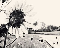 Sunflowers by the Road  16x20 Fine Art Nature by KatieLloydPhoto, $60.00
