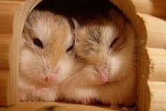 #hamster #roborovsky