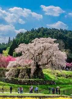 Matabe Sakura, Uda, Nara, Japan, Sakura, Cherryblossom, 又兵衛桜, 宇陀市, 奈良, 日本, 桜