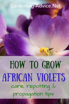 The cheerful African Violet Plants can't be missing in your indoor house plant…