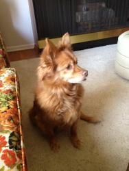 Adopted!  Lily lives in Union County at the moment but unfortunately, her mom must go in a nursing home so she finds herself in search of a new family.  She is small, about 20 pounds, about the size of a small cocker spaniel but she looks like a Pomeranian.  She is extremely sweet and would make a great companion dog to an elderly person or to someone with kids as she loves to play.  She is at least 10, maybe 12 but is healthy and up to date on all her medical.