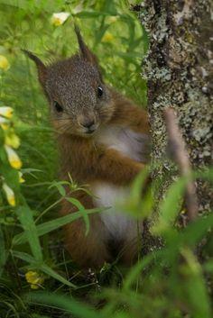 beckoningforest: a-lion-in-Winter: Verstecken von MadeleineI fanden diese Babyeichhörnchen, das auf unserer Liegewiese spielte.  Es ist erstaunlich, wie furchtlos sie sind, lassen Sie mich dies eine sehr nahe kommen.  Er versteckte sich hinter dem Baum und dann guckte mich an, um dann wieder zu verstecken.
