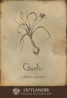 Garlic. An anti-bacterial, anti-fungal, anti-parasitic and anti-viral medicine used in the 1740s to lower blood pressure and cholesterol, and boost the immune system. #Outlander #ApothecaryCabinet