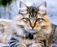 The American Bobtail cat is a affectionate and gentle cat. If you are keen in getting this cat as your pet, read more about the American Bobtail cat breed here. American Curl, Rare Cats, Cats And Kittens, Exotic Cats, Cats Bus, Large Cat Breeds, American Bobtail Cat, American Wirehair, Funny Kittens