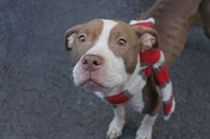 """TAMALE - A1069890 - - Manhattan  Please Share:   TO BE DESTROYED 04/17/16 **ON PUBLIC LIST** Wherever young Tamale lived, nobody bothered to feed her much. Reportedly found as a """"stray"""", she was so emaciated one could see every bone in her body. ACC's solution was to feed her 3 times a day but a young girl like Tamale will need to get to a real vet to make sure that her lack of food and fluids hasn't caused other damage. ACC has no other plans for Tamale and they'"""