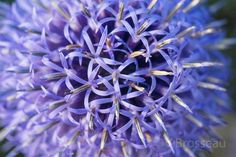 Echinops - photo de V.Brosseau