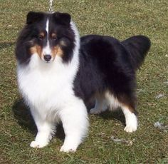 ... on Pinterest | Shetland Sheepdog, Collie and Shetland Sheepdog Puppies