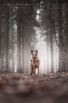 Foggy day in the forest - Foggy day with my german shepherd dog :) http://facebook.com/annaphoto.cz
