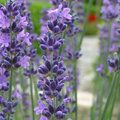lavender flowers  - Cottage garden plants - Craft - allaboutyou.com