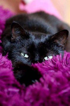 Black and Purple... Beautiful. LOVE Cats 😍 SLVH ♥♥