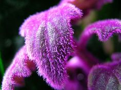 Blog Multiflora: Gynura aurantiaca